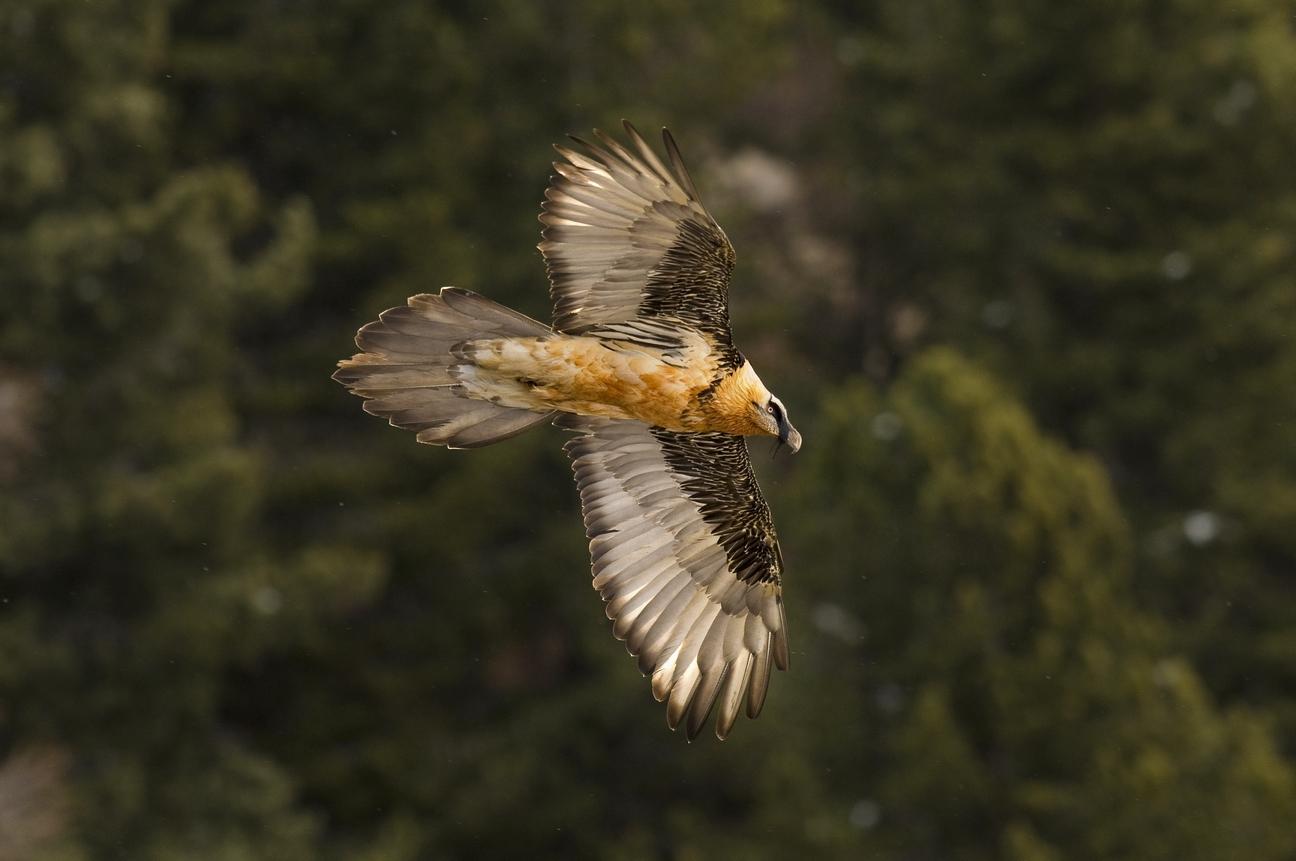 Il progetto internazionale per la conservazione del Gipeto sulle Alpi a6dfe9b4cb47