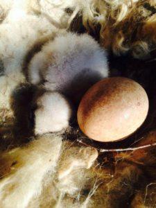 Il primo pulcino di Gipeto del 2016, nato nello zoo di Yerevan in Armenia, afferente alla Rete di allevamento internazionale che alleva giovani destinati alla reintroduzione in natura (foto: Yerevan zoo, Alex Llopis).