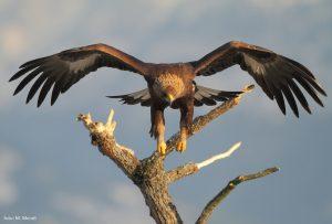L'aquila reale, simbolo del Parco nazionale, è relativamente comune nell'area protetta
